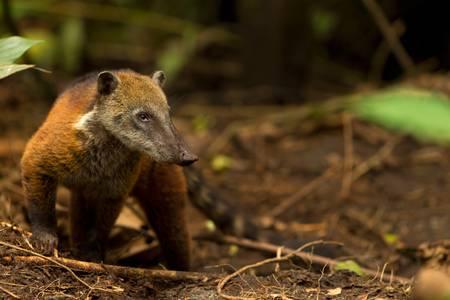 Procyon cancrivorus, brown species of raccoon, shot in the wild, ecuadorian rainforest. photo