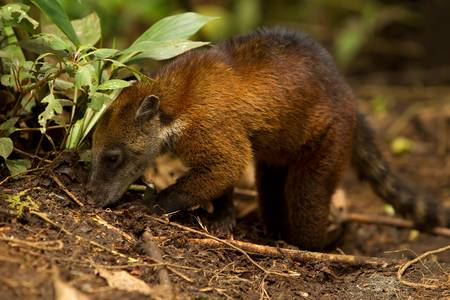procyon: Procyon cancrivorus, brown species of raccoon, shot in the wild, ecuadorian rainforest.