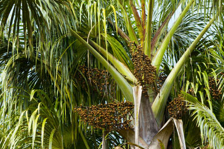 palm fruits: Euterpe oleracea) is a species of palm tree in the genus Euterpe cultivated for their fruit and superior hearts of palm. Fruits are used to produce acai wine. Stock Photo