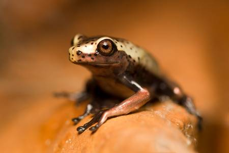 Very small, unedenfied frog in Ecuadorian jungle of Amazon Stock Photo - 9292388