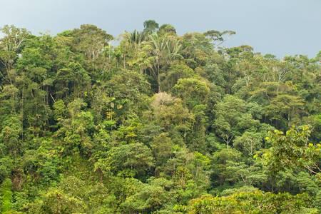 amazonia: Distance view of Ecuadorian dense jungle in Amazonia.