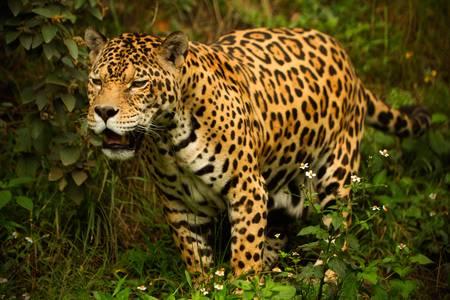 amazonia: large male jaguar. shoot in the wild, Ecuadorian amazonia