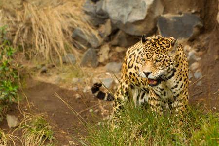 ecuador: large male jaguar. shoot in the wild, Ecuadorian amazonia