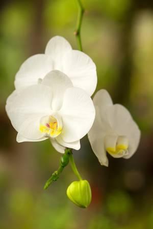 amazonia: bunch of white phalaenopsis shot in Ecuadorian part of amazonia