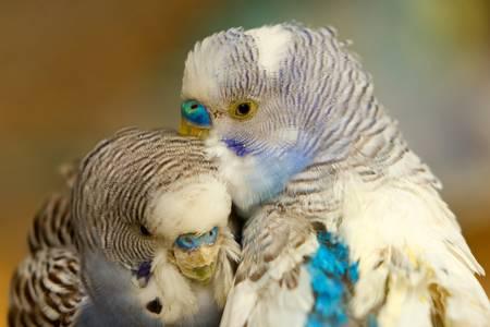 colorfull pair of budgerigar birdsshoot in ecuadorian rainforest photo