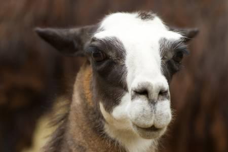 Isolated headshot of an adult female lama glama photo