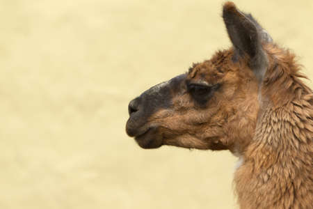 Isolated headshot of an adult female lama glama photo