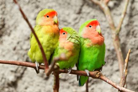 inseparable: family of loving birds on a branch, shot in natural enviorement