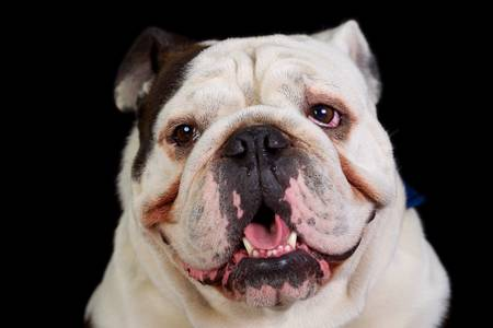 Mugshot studio portrait of an adult , pure breed , english bulldog. photo