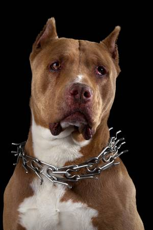 Adult champion american pitbull studio black isolated portrait