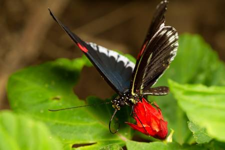 papilionidae: latin parides arcas, also called cattleheart. shot in ecuadorian rainforest