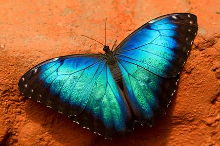 butterfly wings: owl butterfly (lat. caligo eurilochus) with wings wide open to absorb solar heat Stock Photo