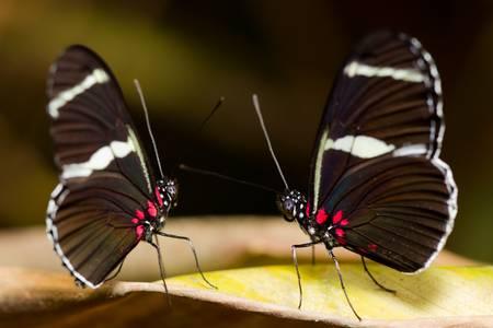 A mating pair of Cairns Birdwing Butterflies. photo