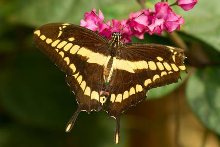 papilionidae: A swallowtail butterfly seeks nectar from a pretty flower.