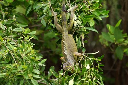 mangrove forest: Adult iguana male warming in the sun in the dense mangrove forest, his natural habitat