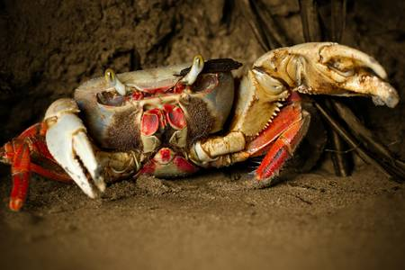arthropoda: Mangrove crab attacking with his powerful pliers