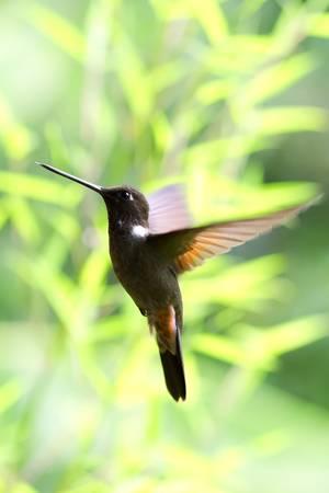 colibries: Muy pequeño colibrí, collar inca, en el vuelo. Filmada en la selva ecuatoriana. Foto de archivo