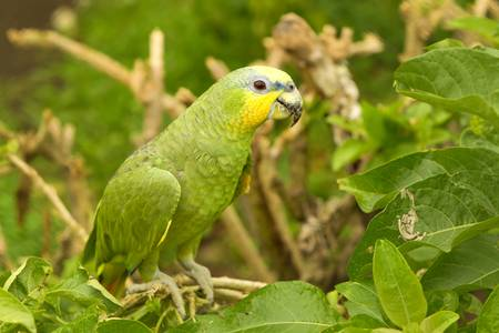 lowlands: Male Yellow Crowned Amazon parrot shot in Ecuadorian lowlands of Amazonian basin. Stock Photo