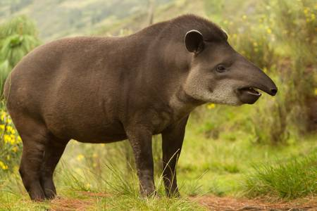 Adult female mountain tapir in the wood. Shot in the Ecuadorian highlands of Andes.