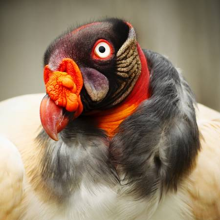 bald ugly: Closeup portrait of a King vulture in captivity. Stock Photo