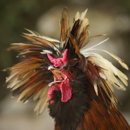 gallo: Gallo loco con un canto divertido peinado muy alto. Tipo que quiere matar a la ma�ana. (Un poco cantidad de ruido visible a tama�o completo) Foto de archivo