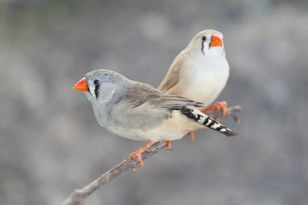 songster: Pair of Diamante Babero on a branch, also called loving birds. Stock Photo