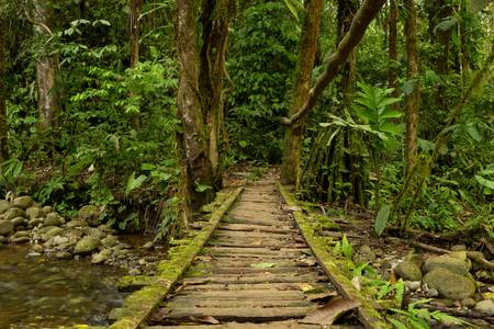Low angle view of a wooden bridge in the Ecuadorian jungle.