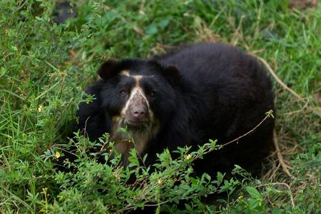 andean: large male andean bear, shoot in the wild in Ecuadorian Andes mountains Stock Photo