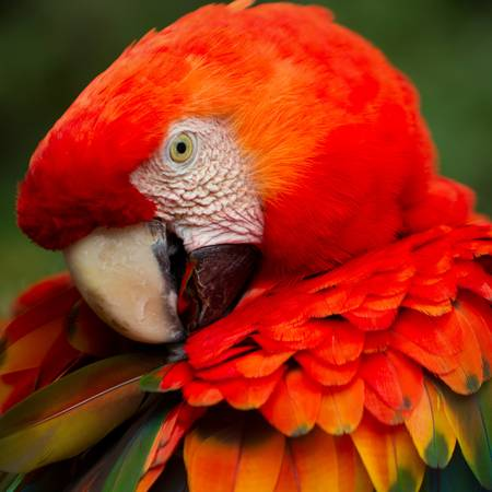 The Scarlet Macaw  is a large, colorful macaw. It is native to humid evergreen forests in the American tropics. Range extends from extreme south-eastern Mexico to Amazonian Peru, Bolivia and Brazil Stock Photo