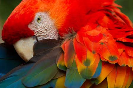 guacamaya: La guacamaya roja es un guacamayo grande, colorido. Es originaria de bosques húmedos de los trópicos americanos. Se extienden desde el extremo sur-este de México hasta la Amazonía del Perú, Bolivia y Brasil Foto de archivo
