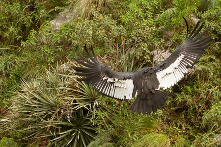 andean: The Andean Condor (Vultur gryphus)  is a large black vulture with a ruff of white feathers surrounding the base of the neck and, especially in the male, large white patches on the wings. The head and neck are nearly featherless, and are a dull red color,  Stock Photo