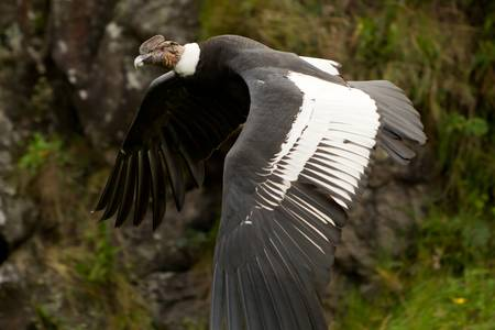condor: The Andean Condor (Vultur gryphus)  is a large black vulture with a ruff of white feathers surrounding the base of the neck and, especially in the male, large white patches on the wings. The head and neck are nearly featherless, and are a dull red color,  Stock Photo