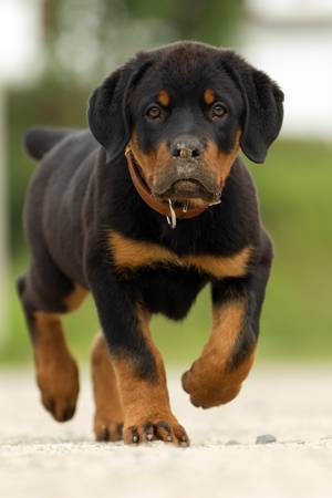 Rottweiler walking with great confidence shot from low angle , shallow depth of field.
