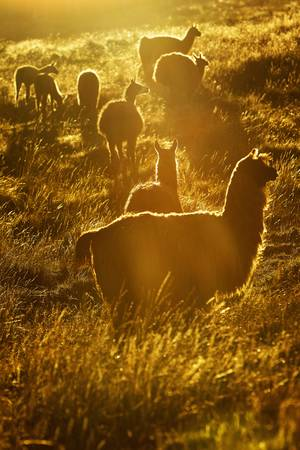 Heard of lamas in Ecuadorian Andes, contre jour. Sightly retouched in PS for more visual impact. Converted from RAW. Stock Photo - 14041319