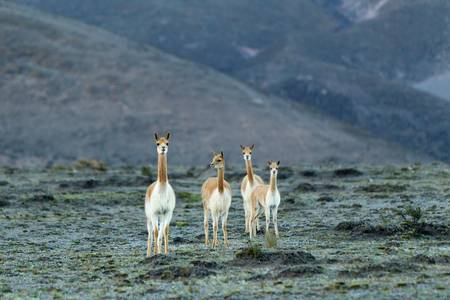 The vicugna is one of two wild South American camelids which live in the high alpine areas of the Andes. It is a relative of the llama, and is now believed to share a wild ancestor with domesticated alpacas. photo