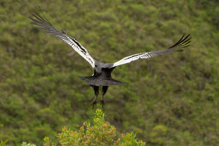 andean: Andean condor takeoff, shot in Ecuadorian higlands at about 1800m altitude. Stock Photo