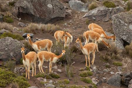 believed: The vicugna is one of two wild South American camelids which live in the high alpine areas of the Andes. It is a relative of the llama, and is now believed to share a wild ancestor with domesticated alpacas. Stock Photo