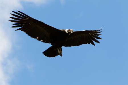 Male Andean condor in flight, shot in highlands of Ecuador Andes mountains. photo