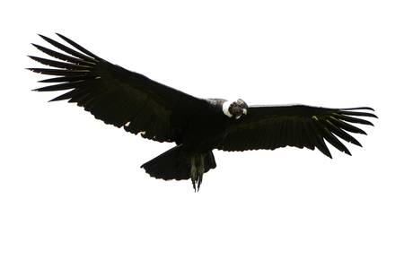 Male Andean condor in flight, shot in highlands of Ecuador Andes mountains against a white cloud. Stock Photo
