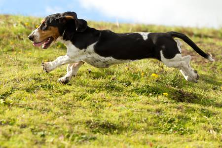 hounds: Female Basset Hound chasing prey shot from low angle at full running speed.