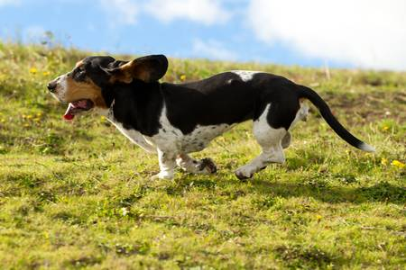 basset hound: Female Basset Hound chasing prey shot from low angle at full running speed.