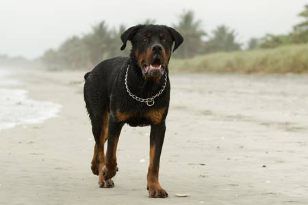 Adult male Rottweiler on the beach, observe the beautiful expression of this breed. photo