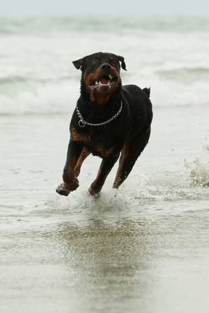 head collar: adult Rottweiler dog running on the beach, low angle shot Stock Photo