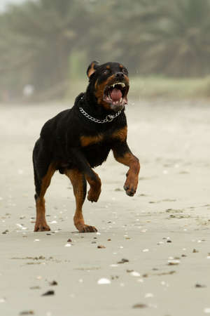 male killer: aggressive Rottweiler dog (the dog was running , in fact this breed is not aggressive at all)