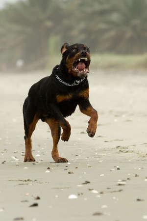 obediencia: agresivo perro Rottweiler (el perro estaba corriendo, de hecho, esta raza no es agresivo en absoluto) Foto de archivo