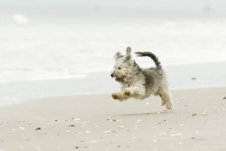 dog days: Muy enérgico Shih Tzu macho corriendo a toda velocidad en la playa Foto de archivo