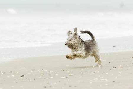 Very energic Shih Tzu male running at full speed on the beach