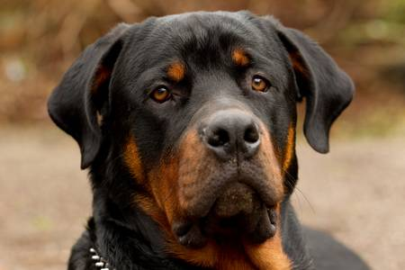 rottweiler: frontal portrait of an adult male purebred Rottweiler, narrow dof , focus on the eye.