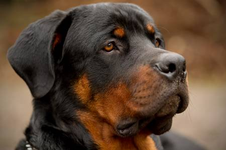 brown and black dog face: profile portrait of an adult male purebred Rottweiler , narrow dof , focus on the eye.