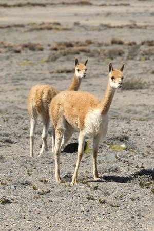 vicuna: two females vicugna or vicuna , a camelid specie specific to the Andes highlands in south America.
